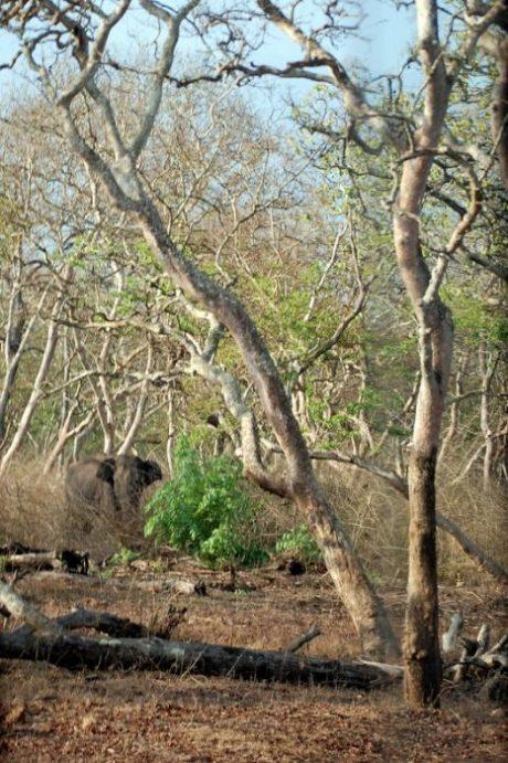 Elefante nella Mudumalai Tiger reserve